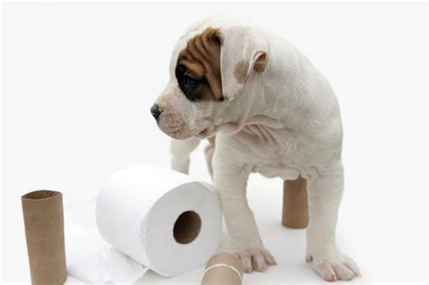 Toilet Puppy At by Housebreaking Tips For Puppies Slideshow