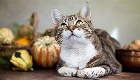 thanksgiving cat how to have a happy safe thanksgiving with your cat cattime