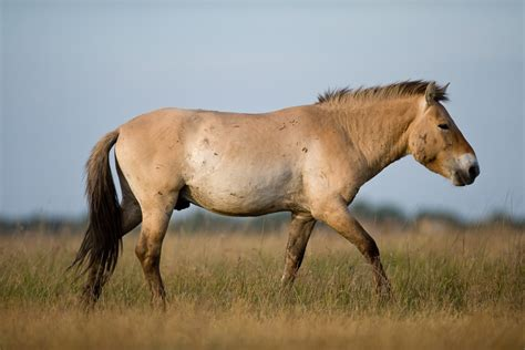 wild horses horse european europe rewilding ecosystems densities offering helping areas within key natural