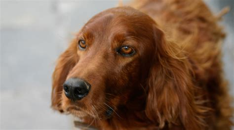 Setter Hair Shedding by 9 Breeds
