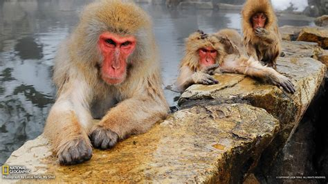 japanese macaques national geographic wallpaper preview
