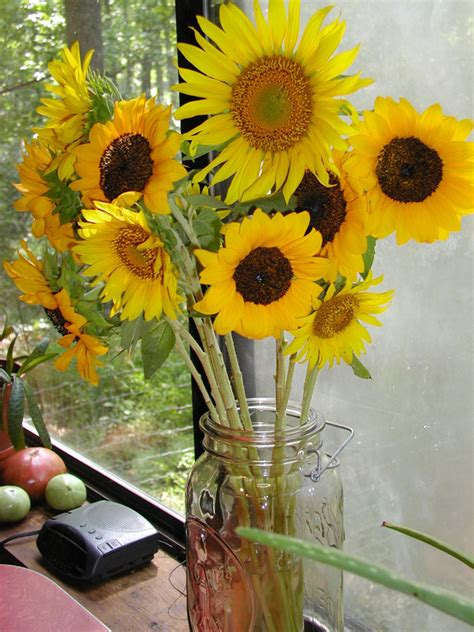 sunflower pictures pics images    inspiration