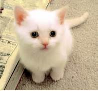 cic  s k  pek   White Baby Cat With Blue Eyes