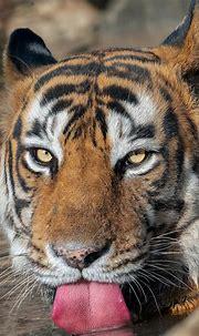 MAJESTIC MALE BENGAL TIGER KUMBHA | Bengal tiger, Bengal ...