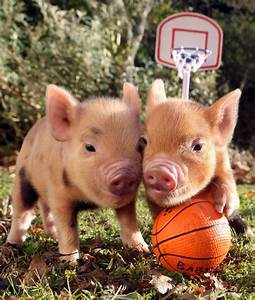 1000  Images About Baby Pigs  Mini Pigs And Teacup Pigs