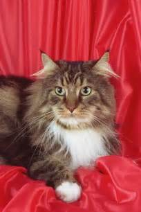 cats me maine coon cats pets and docile