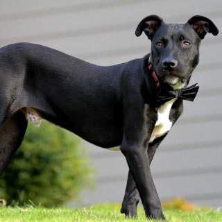 labrabull pitador dog breed    pit