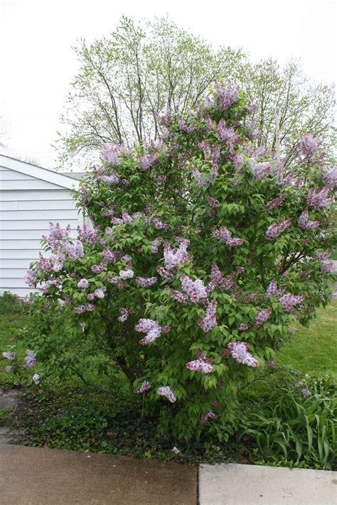 Flowering Shrubs  Donna's Garden