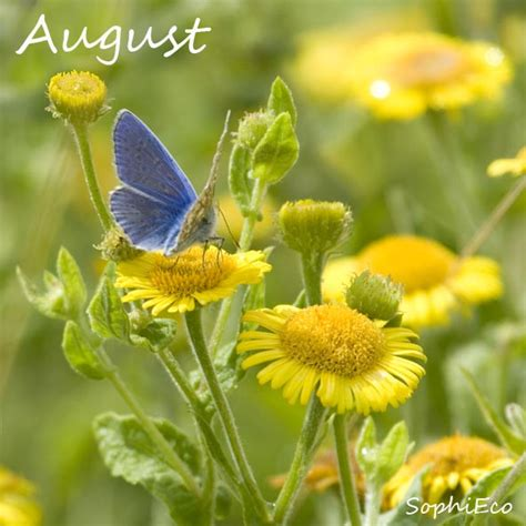 sophieco wild august flower   month