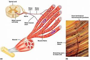 Skeletal Muscle Structure And Function  U2013 Musculoskeletal Genetics