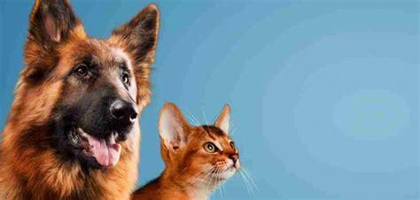 introducing german shepherd puppy to cat