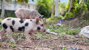 Cute Baby Pig Walking Outdoors Stock Video Footage ...