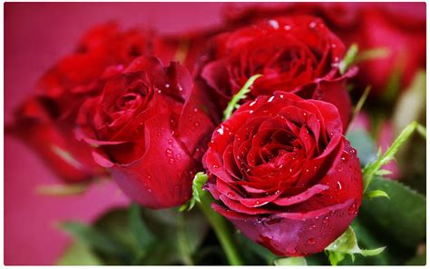 valentines day gift roses of a cuddlebit