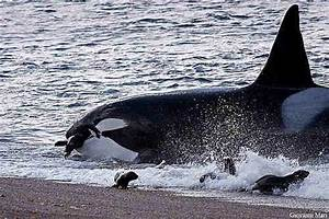 Killer Whale Hunting | ORCAS | Pinterest