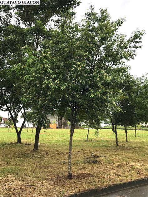 Viveiro Ciprest - Plantas Nativas e Exóticas: Pessegueiro ...