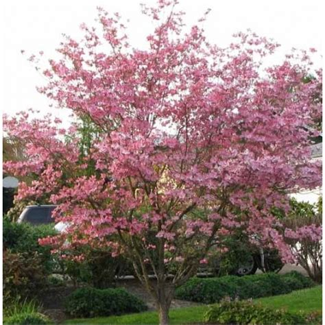 pink dogwood tree care stellar pink dogwood