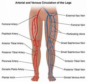 Vascular Anatomy Of The Leg Structure Of Anatomy Leg And