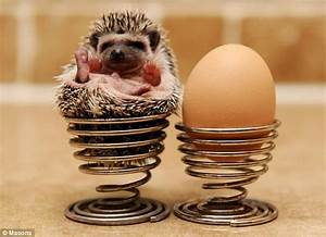24 pygmy hedgehogs adopted by animal lover | Daily Mail Online