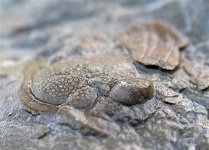 Louisville Fossils and Beyond: Glyptambon Trilobite  Silurian