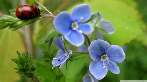 blue flowers wallpapers high quality