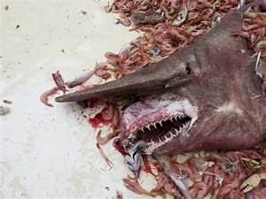 Goblin shark in Australia, 18-foot oarfish and other odd fish