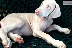 The gallery for --> White Doberman Pinscher Puppy