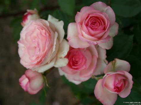 Mini Eden Kletterrose Kaufen Bei Agel Rosen