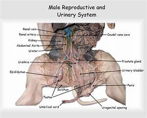 Male Fetal Pig Reproductive System Diagram Labeled