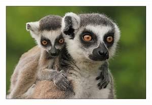 Kuscheltier Große Augen : vier gro e augen foto bild tiere zoo wildpark falknerei s ugetiere bilder auf fotocommunity ~ Orissabook.com Haus und Dekorationen