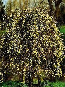 Taille Du Saule Pleureur : saule marsault 39 kilmarnock 39 salix caprea le jardin du pic vert ~ Melissatoandfro.com Idées de Décoration
