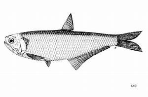 Fish List In Iraq