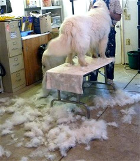 great pyrenees excessive shedding great pyrenees summer cut breeds picture