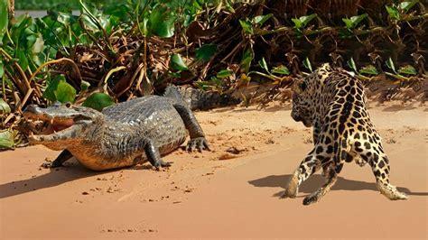 Jaguar Vs Caiman by Jaguar Vs Caiman Epic Battle For Survival In South