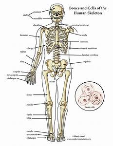 Skeletal System Color Diagram  Mini