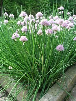growing herbs  home chives  gardening info