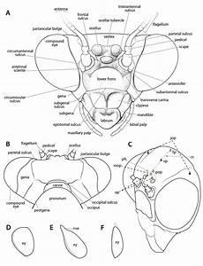 Manual Of Praying Mantis Morphology  Nomenclature  And