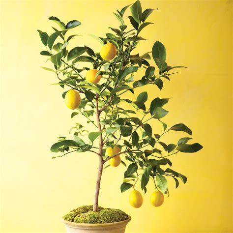 lychee fruit inside grow citrus indoors martha stewart