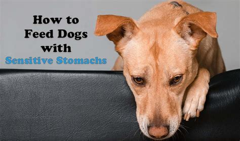 9 Tips On How To Feed Dogs With Sensitive Stomachs And Tummy Issues