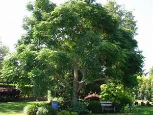 Melia azedarach - Indian bead tree - Tauranga Tree Co