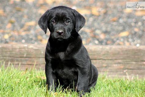 black labs puppies cute labrador retriever puppy