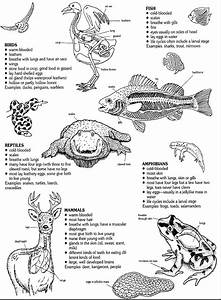 Diagram Of Vertebrate Taxa And Their Characteristics