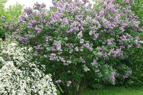 planter lilas en pot la plantation du lilas