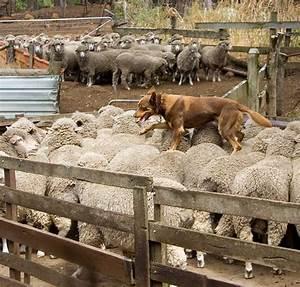 Herding dog - Wikipedia