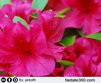 azalea coltivazione in vaso azalea cura e coltivazione