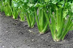 How To Plant And Grow Celery