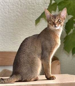 Abyssinian Cat blue (female?) | Abyssinian Cat | Pinterest