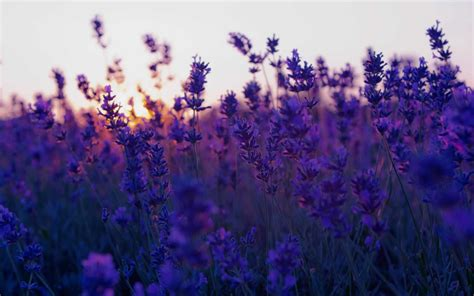 lavender aesthetic wallpapers