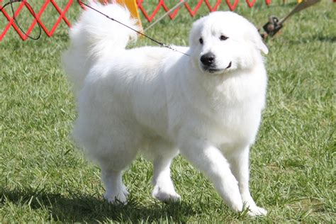 Great Pyrenees Shedding Information by Thai Ridgeback Breed Pictures Models Picture