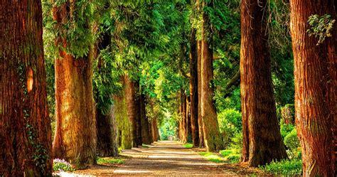 outdoor artificial redwood trees redwood tree outdoor