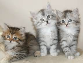 siberian cat for silver siberian kittens silver siberian cats available